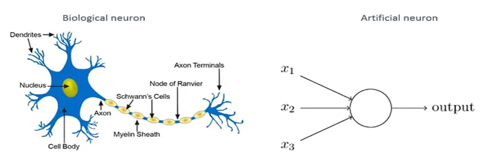 Biological neurons & artificial neurons